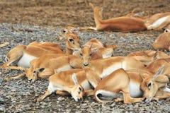Famille de cerfs communs Photographie stock libre de droits