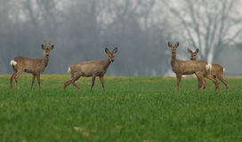 Famille de cerfs communs Photo stock