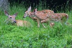 Famille de cerfs communs Image stock