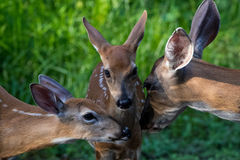 Famille de cerfs communs Photos stock