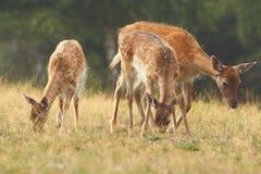Famille de cerfs communs affrichés Photographie stock
