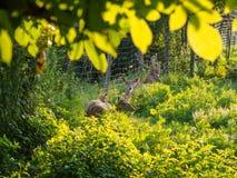 Famille de cerfs communs affrichés Photo libre de droits