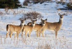 Famille de cerfs communs d'arrière blanc Image libre de droits