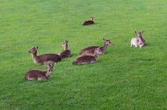 Famille de cerfs communs dans l'herbe verte Images stock