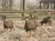 Famille de cerfs communs de mule Photos libres de droits