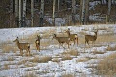 Famille de cerfs communs de mule Image libre de droits