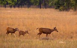 Famille de cerfs communs de Sambar Photographie stock