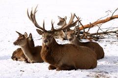 Famille de cerfs communs rouges Image libre de droits
