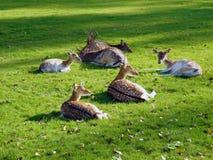 Famille de cerfs communs se reposant sur l'herbe Photographie stock libre de droits