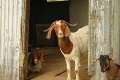 Famille de chèvre Images libres de droits