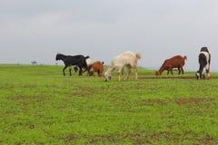 Famille de chèvre en nature Photo stock