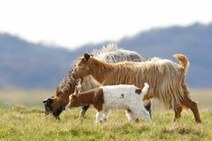 Famille de chèvre marchant sur le pré Image stock