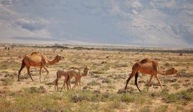 Famille de chameau Photo libre de droits