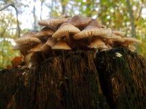 Famille de champignon dans le forset d'automne Photos stock