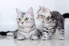 Famille de chat américaine de shorthair Photo stock
