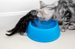 Famille de chat américaine de shorthair Images stock