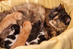 Famille de chat douce - juste chatons nouveau-nés avec un chat de mère Chatons rouges et noirs et blancs Photographie stock libre de droits