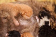 Famille de chat douce - juste chatons nouveau-nés avec un chat de mère Chatons rouges et noirs et blancs Photo stock