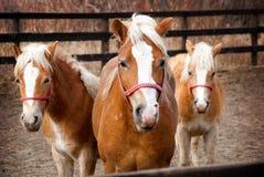 Famille de chevaux Images stock