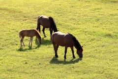 Famille de chevaux en Pologne Images libres de droits