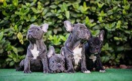 Famille de chien de Taureau de Français de chiot Photo libre de droits