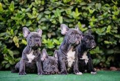 Famille de chien de Taureau de Français de chiot Photographie stock libre de droits