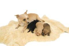 Famille de chiens. photos stock