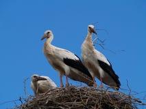 Famille de cigogne photographie stock libre de droits
