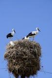 Famille de cigogne Images stock