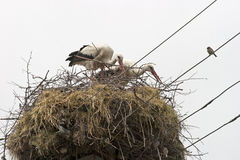 Famille de cigogne Photographie stock