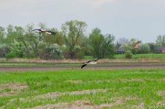 Famille de cigogne arrivant à la zone rurale Photographie stock