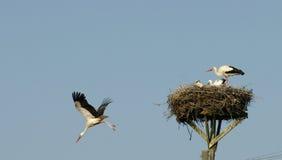 Famille de cigognes dans le nid Photo libre de droits