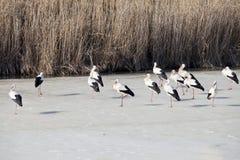 Famille de cigognes sur le lac Images libres de droits