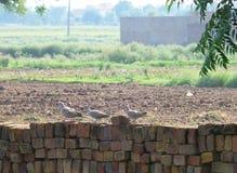 Famille de colombe photographie stock libre de droits