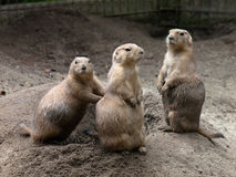 Famille de crabot de prairie Images libres de droits