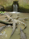 Famille de crocodile Photographie stock