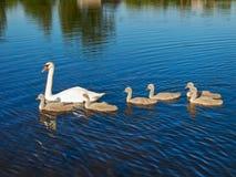 Famille de cygne images stock
