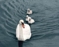 Famille de cygne Photo stock