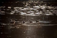 Famille de cygne dans le coucher du soleil, cygnus de Cygnus Images libres de droits