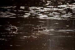 Famille de cygne dans le coucher du soleil, cygnus de Cygnus Photographie stock
