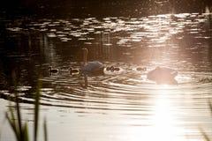 Famille de cygne dans le coucher du soleil, cygnus de Cygnus Image libre de droits