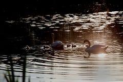 Famille de cygne dans le coucher du soleil, cygnus de Cygnus Images stock