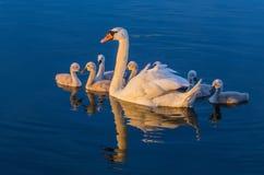 Famille de cygne dans le lac bleu photo stock