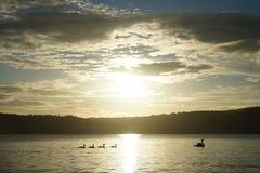 Famille de cygne dans le lever de soleil Photographie stock