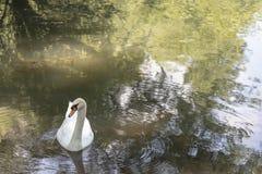 Famille de cygne dans un lac photographie stock