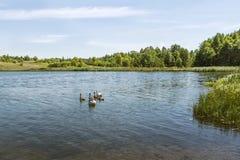 Famille de cygne de paysage de l'eau Image libre de droits