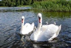 Famille de cygne Engendrez les poussins de cygne de mère de cygne et de ` s de cygne ensemble Photo libre de droits