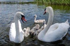Famille de cygne Engendrez les poussins de cygne de mère de cygne et de ` s de cygne ensemble Photos libres de droits