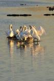 Famille de cygne muet d'île, (olor de Cygnus) Photos libres de droits