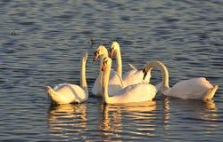 Famille de cygne muet, (olor de Cygnus) Photographie stock
